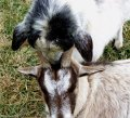 Goats Crackerjack and Chelsea snuggling at Poplar Spring Animal Sanctuary