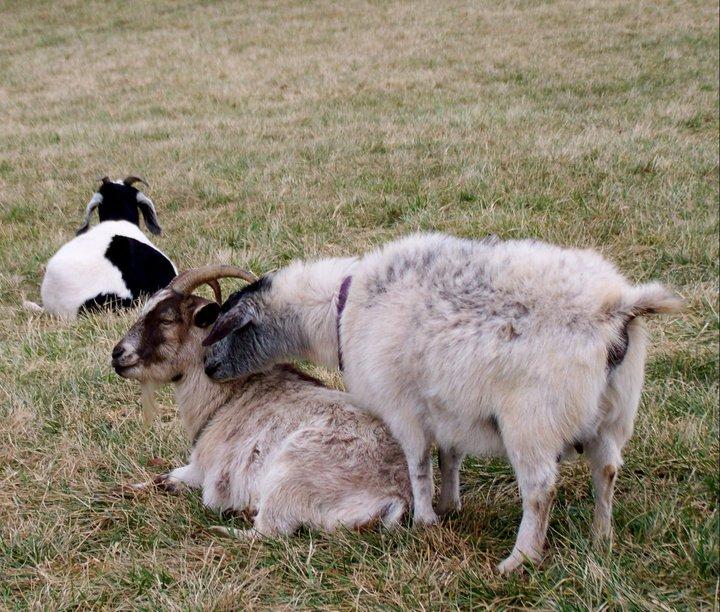 Chelsea and Crackerjack at Poplar Spring Animal Farm