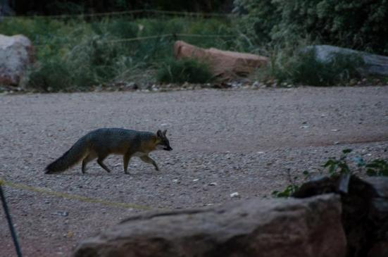 Grey fox at Zion National Park