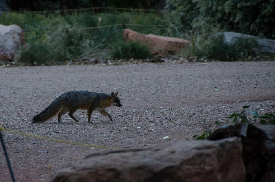Grey fox at Zion National Park