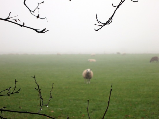 Sheep by Rijs, Netherlands