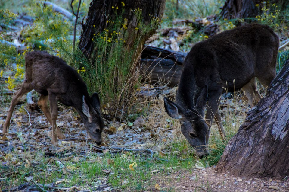 Mule deer at Zion National Park