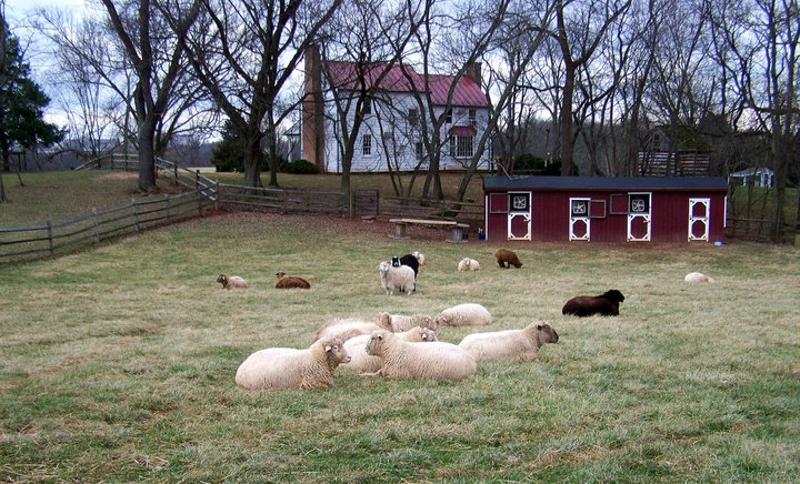 Sheep and goats relaxing at the Poplar Spring Animal Sanctuary