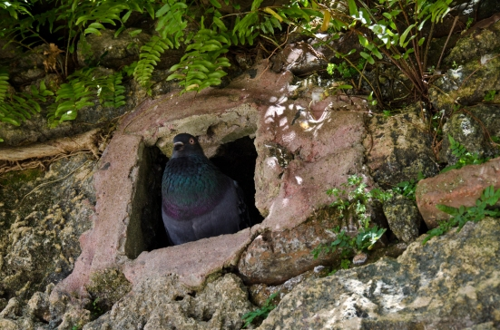 Pigeon in his stone nest, Parque de las Palomas, San Juan, Puerto Rico