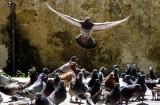 Pigeons of Old SanJuan