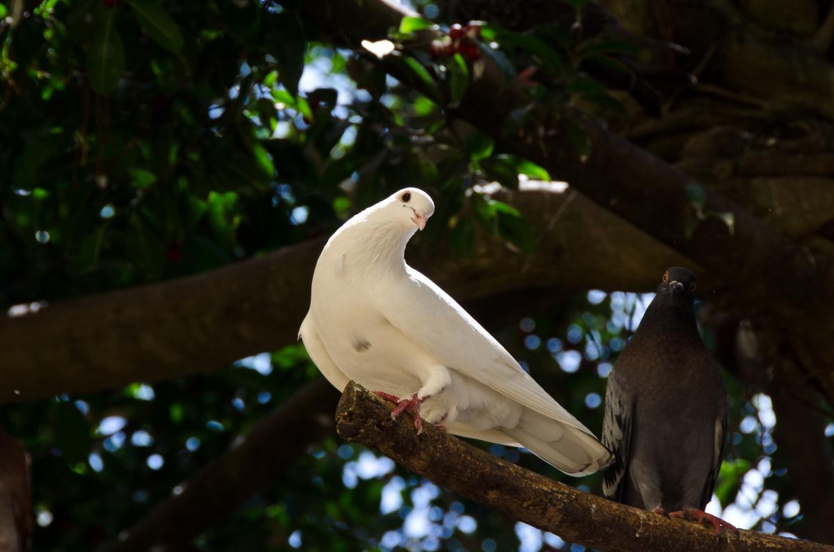 White dove and pigeon in Parque de las Palomas, San Juan, Puerto Rico