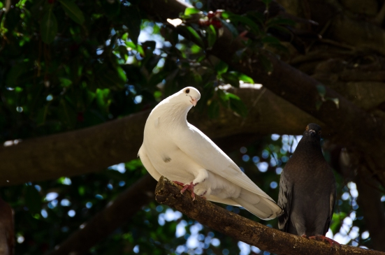 White dove and pigeon in Parque de las Palomas, San Juan, Puerto Rico