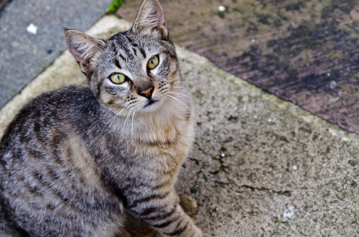 Old San Juan cat, Puerto Rico