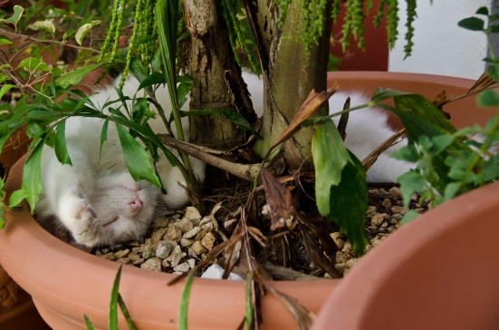 Cat sleeping in pot, Old San Juan, Puerto Rico