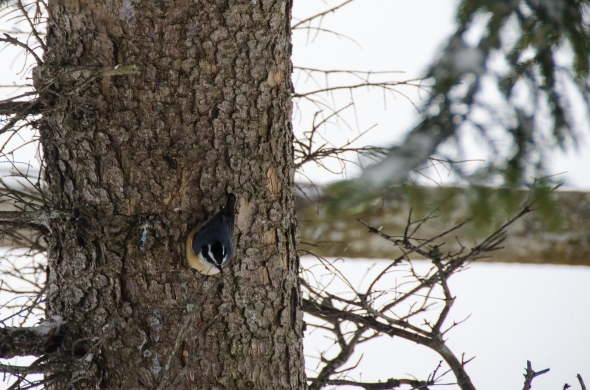 A red-breasted nuthatch, Blackwater Falls State Park