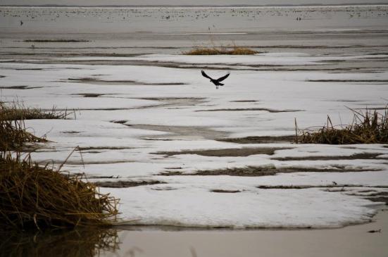 A raven carrying something in his beak, Bear River Migratory Bird Refuge