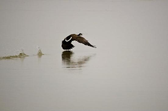 Canadian Goose takes off - Bear River Migratory Bird Refuge