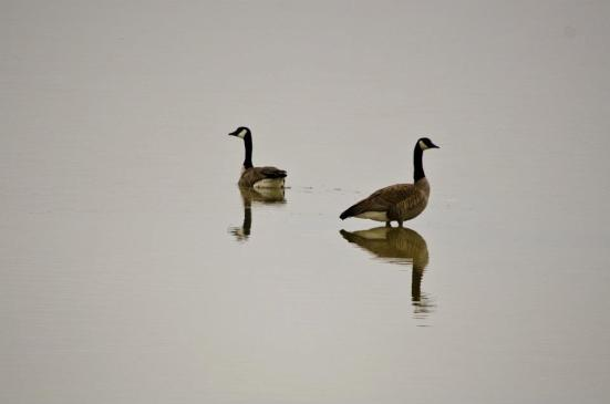 Canadian Geese - Bear River Migratory Bird Refuge