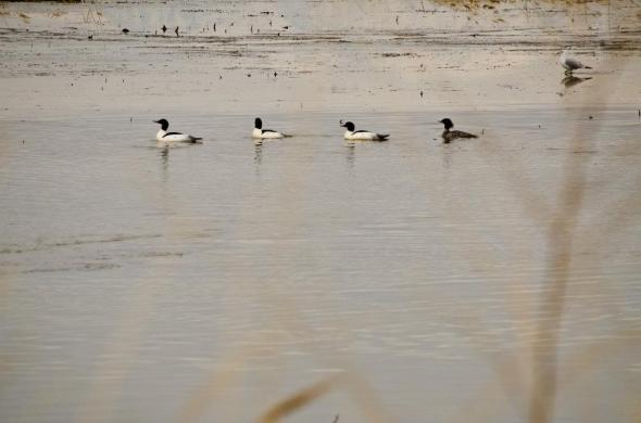 Common mergansers, Bear River Migratory Bird Refuge