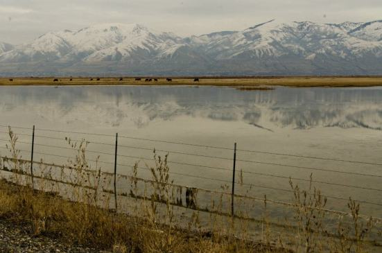Cows and mountains, almost at Bear River Migratory Bird Refuge