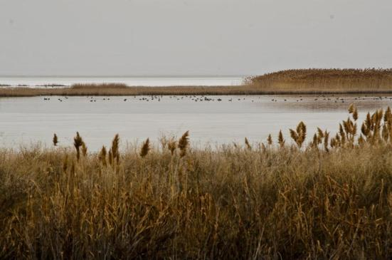Ducks floating far away in a lake at Bear River Migratory Bird Refuge