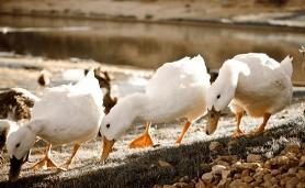 Ducks by stream in Mesquite, Nevada