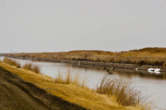Marsh hawk, Bear River in winter
