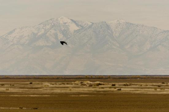 Marsh hawk at Bear River Migratory Bird Refuge in winter