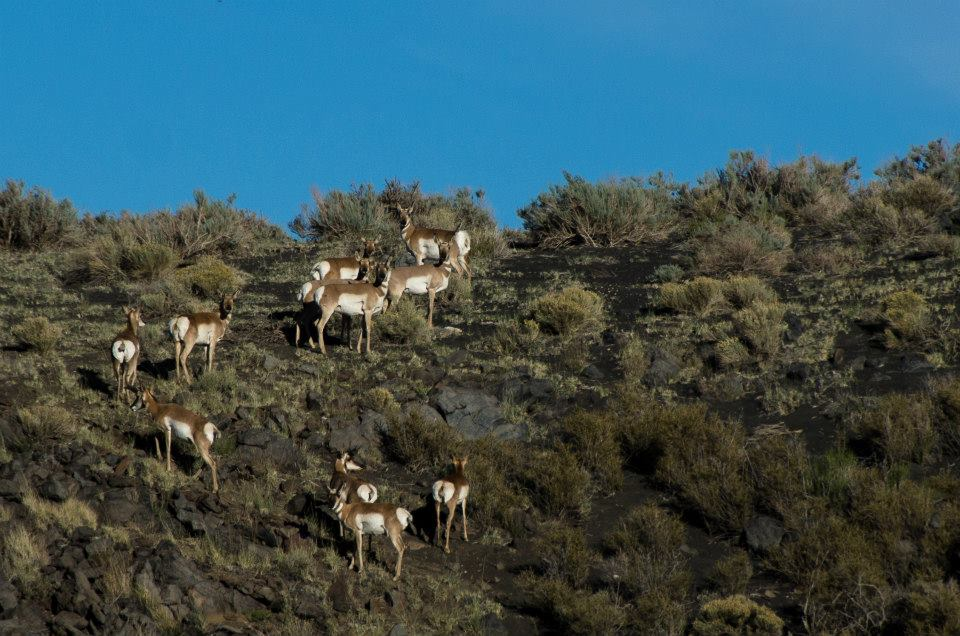 Pronghorn antelopes at Sunset Crater Volcano National Monument, Arizona