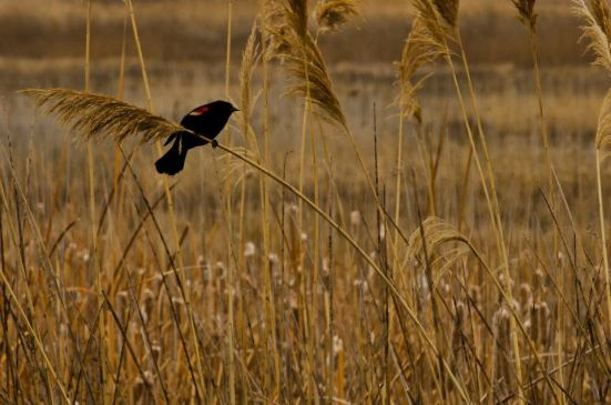 Red-winged blackbird - Bear River Migratory Bird Refuge
