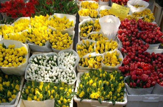 Tulips in Groningen, Netherlands