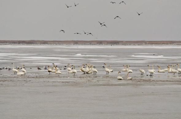 Tundra swans all over Bear River Migratory Bird Refuge