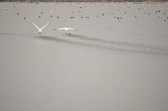 Tundra swans launching - Bear River Migratory Bird Refuge