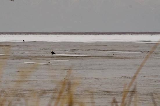 Two bald eagles - Bear River Migratory Bird Refuge in winter