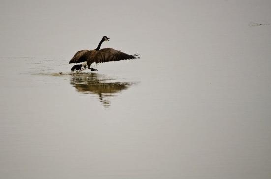 Canadian geese walking on water 1 - Bear River Migratory Bird Refuge