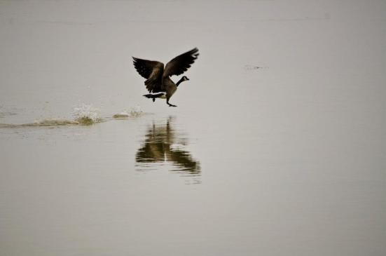 Canadian goose walking on water 2 - Bear River Migratory Bird Refuge