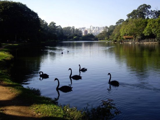 Black Swans at Ibirapuera Park, Brazil