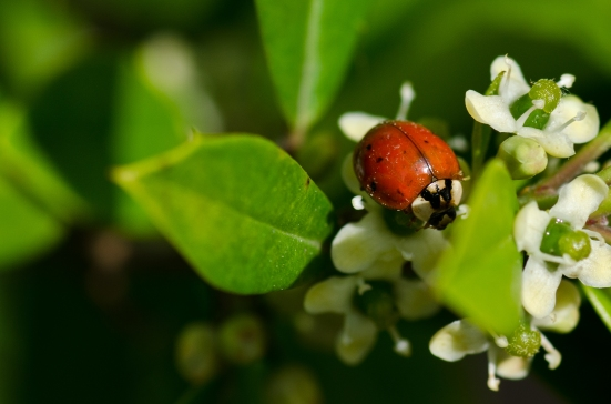 Ladybug on white flowers in May
