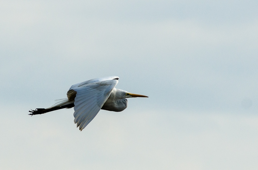 Egret in flight, Savannah National Wildlife Refuge