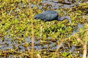 A little blue heron wading in the Savannah NWR