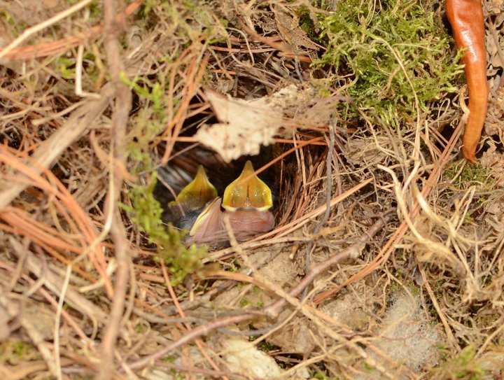 Baby wrens in the nest, April