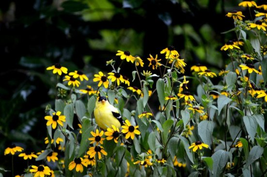 An American goldfinch male sits on blooming Black-eyed Susans