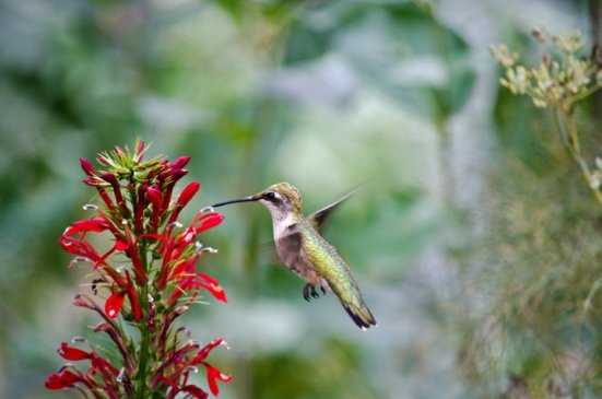 Ruby-throated hummingbird on cardinal flower