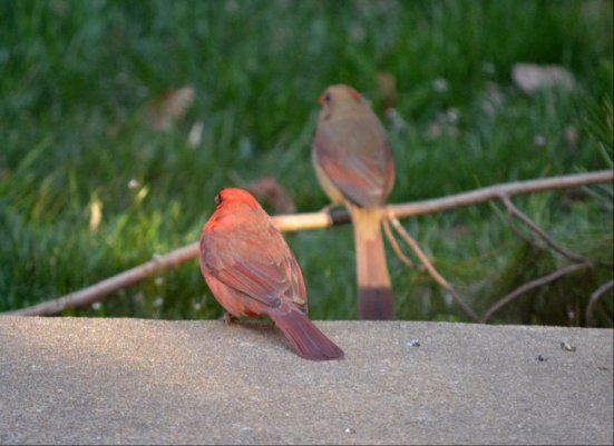 A couple of cardinals - March
