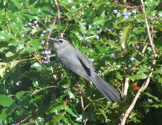 Gray Catbird on Oregon Grape Holly