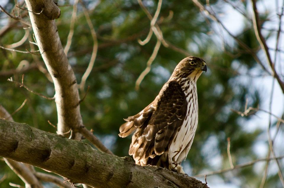 Hawk in our Virginia back yard