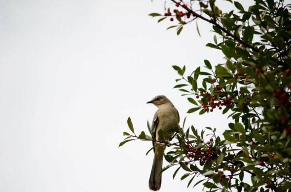 February - mockingbird in our holly tree