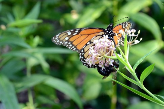 A monarch butterfly and a bee feast on a swamp milkweed