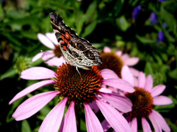 American painted lady butterfly on a coneflower (echinacea)