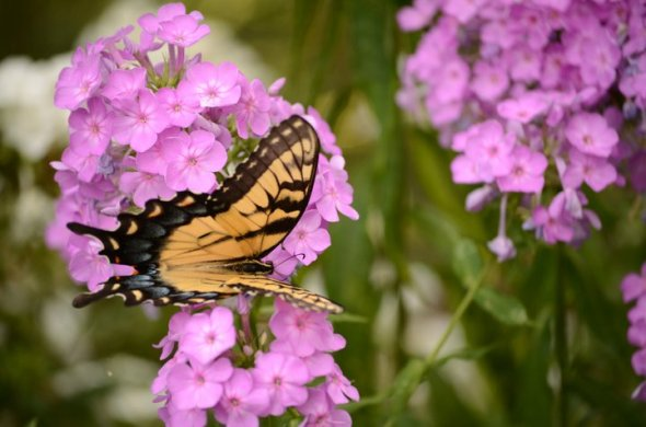 July - a swallowtail on phlox