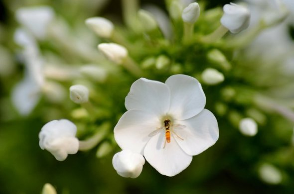 June - a bee in a phlox bloom