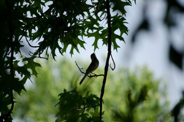 A song sparrow singing in June