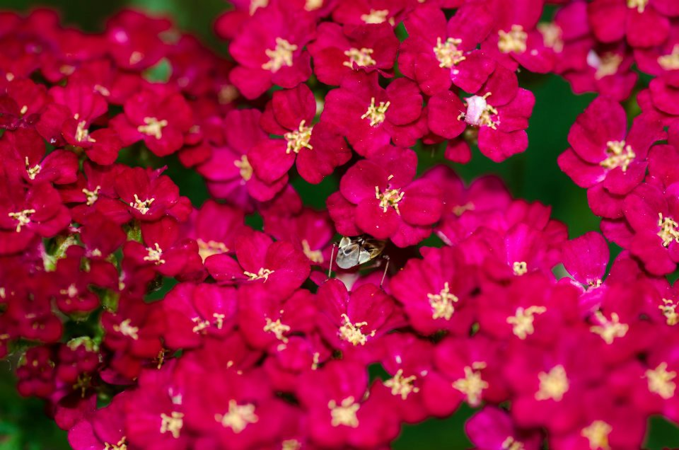 Bright yarrow blooms, with a bug