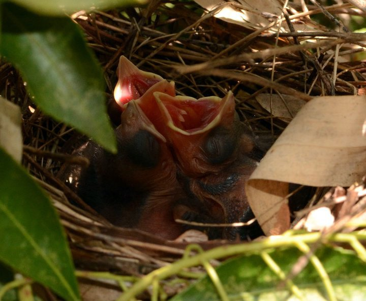 May - baby cardinals in their nest