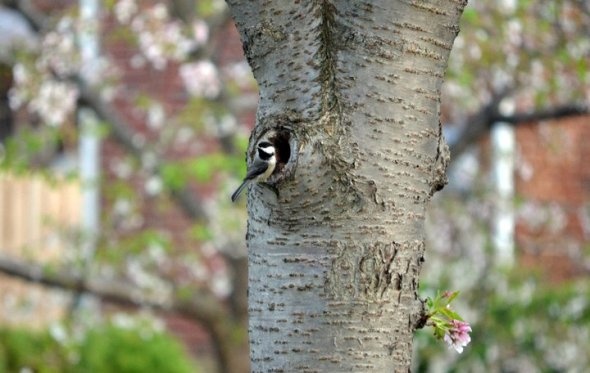 April - Chickadee by his nest in a cherry tree